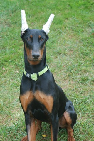 Doberman puppy